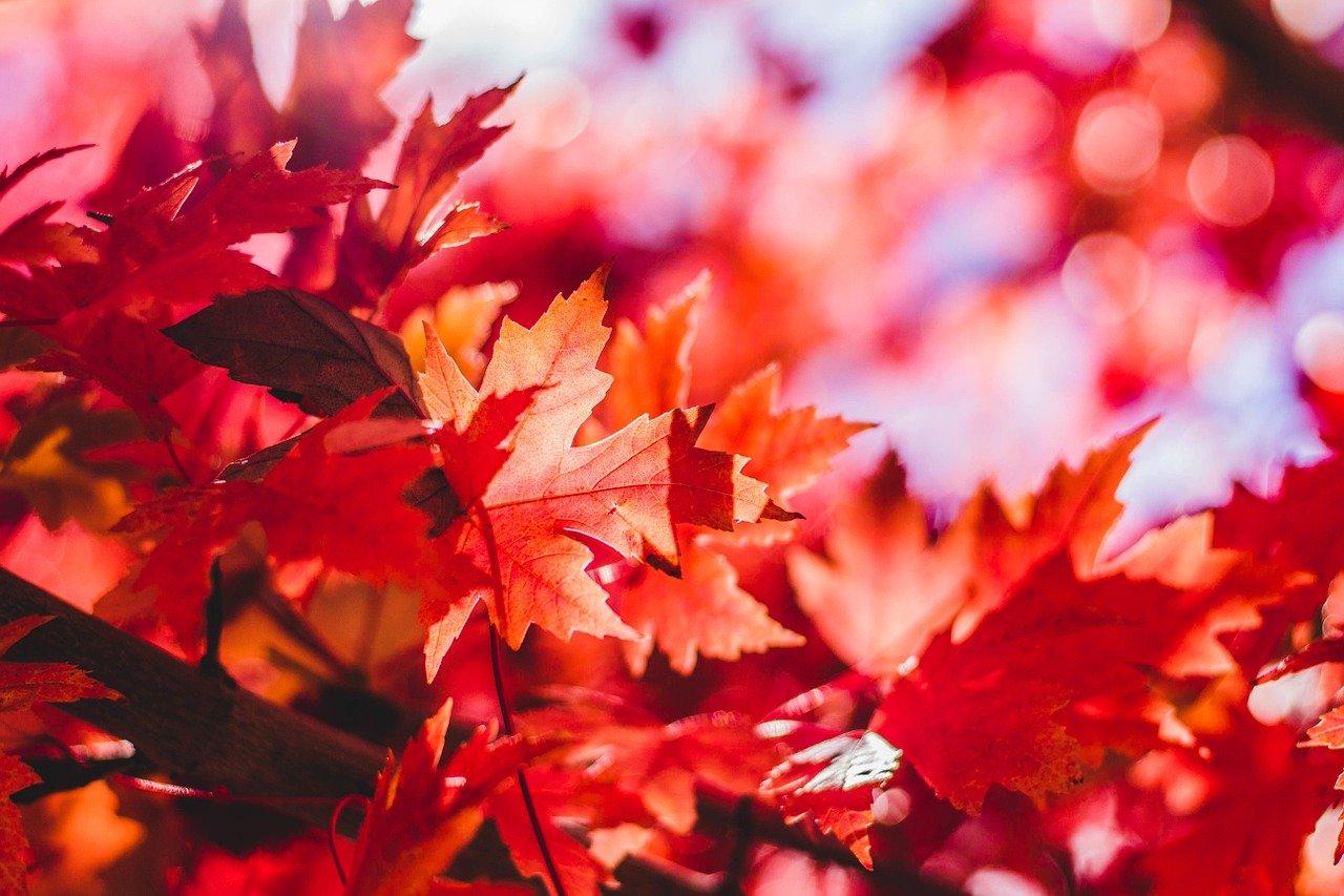 maple leaves, autumn, leaves-1209695.jpg